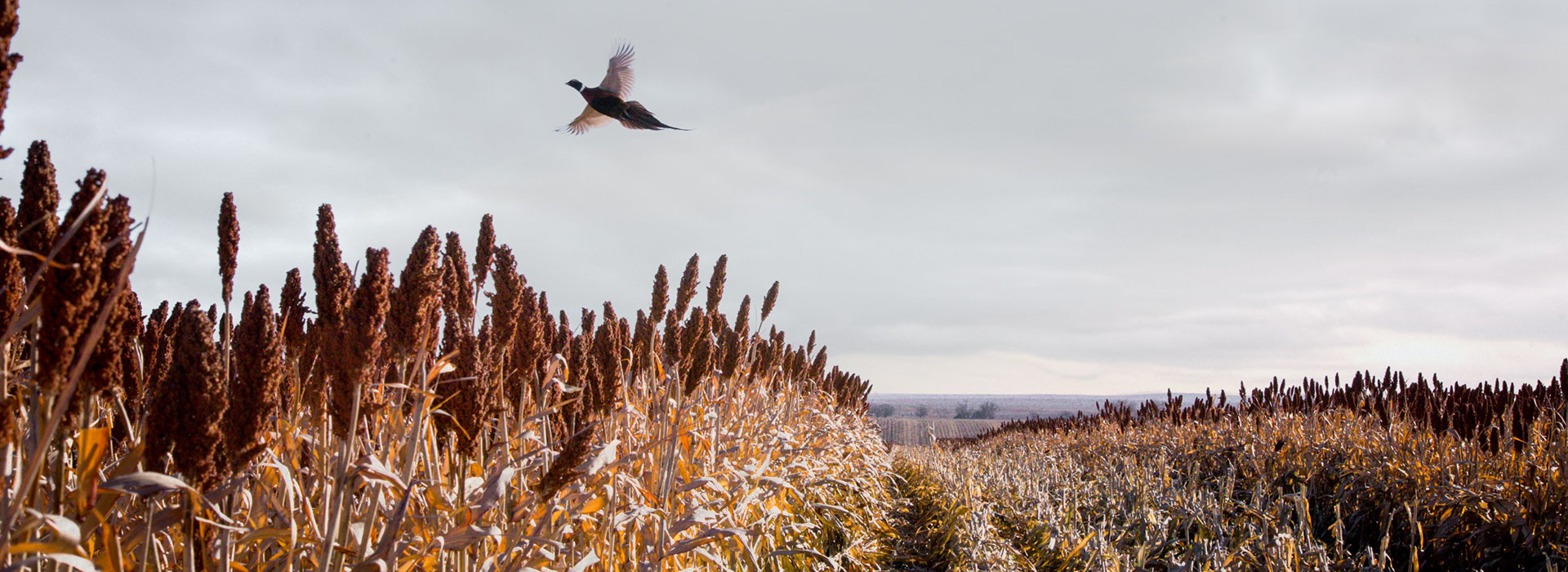 Early Season Pheasant Hunts